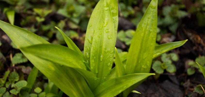 Die Grüne nach Knoblauch riechende Pflanze (Bärlauch)