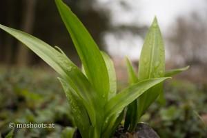 Bärlauchpflanze von der Seite