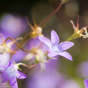 Campanula patula (Wiesen-Glockenblume)