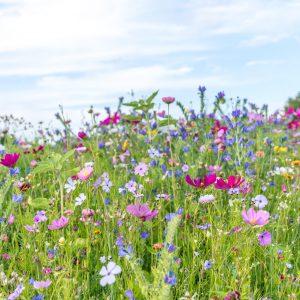 Blumenwiese in Sankt Roman